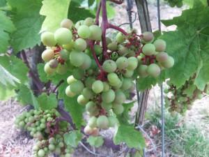 Weingut Höfer Weintrauben 2015