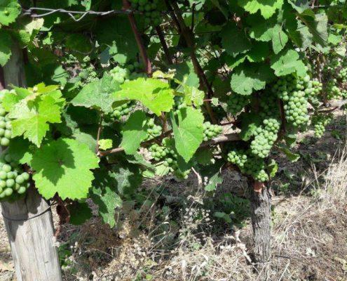 Weintrauben Jahrgang 2016